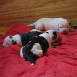 Atomic American Bulldogs - Pups