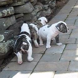 Atomic American Bulldogs